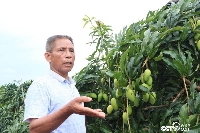 莫文珍一家种植80亩芒果,一年有四五十万元收益。