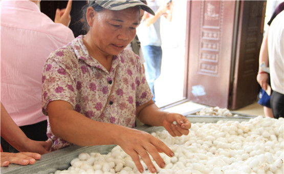 【镜头中的脱贫故事】蚕宝宝为那坡县村集体收入算好账