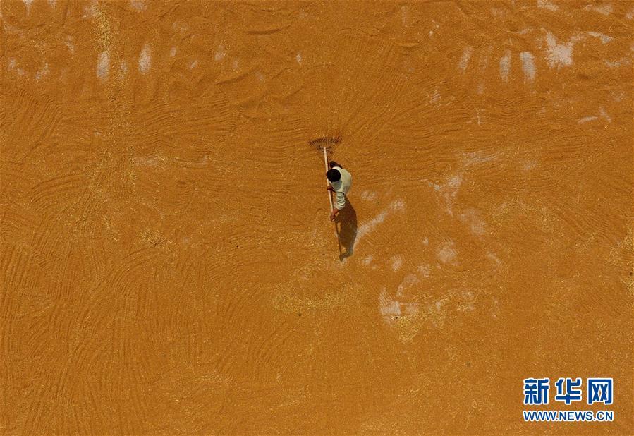 6月7日,山东省聊城市茌平县贾寨镇一村民在晾晒收获的小麦.