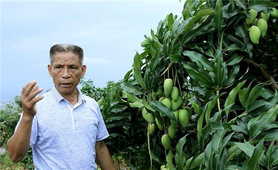 【鏡頭中的脫貧故事】發展芒果産業 果農收入翻五十倍