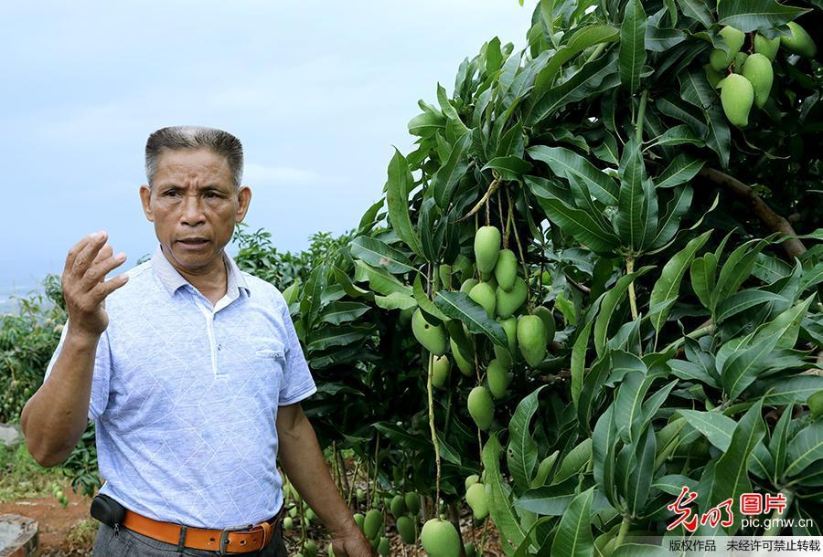 镜头中的脱贫故事:发展芒果产业 果农收入翻五十倍