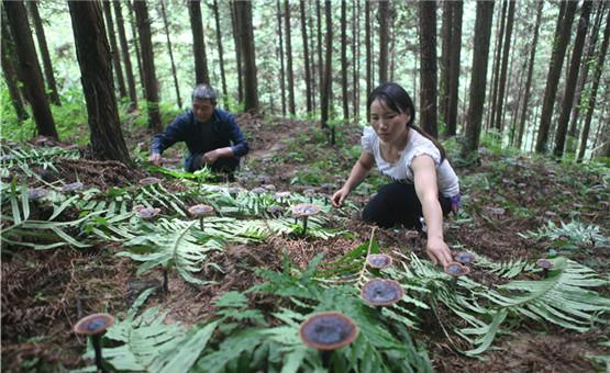 广西柳州:种植灵芝菌促脱贫