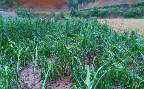甘肃陇南市遇强对流天气 小麦玉米大片倒伏