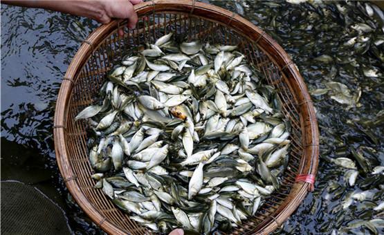 广西柳州:美味禾花鱼助力精准扶贫