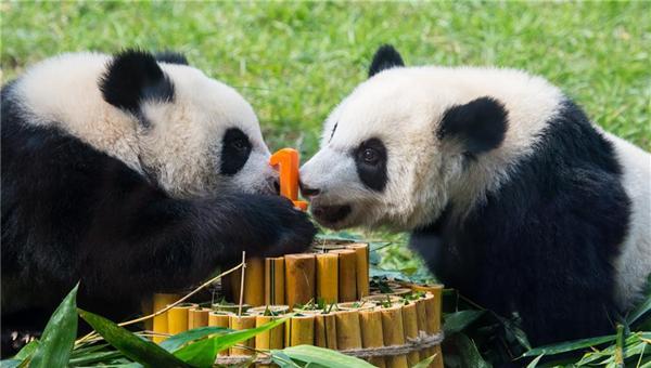澳门大熊猫双胞胎喜迎一周岁生日
