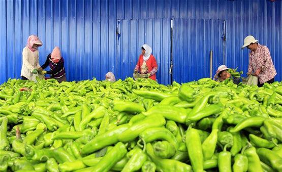 寧夏隆德:多措並舉發展蔬菜産業 帶動建檔戶脫貧增收