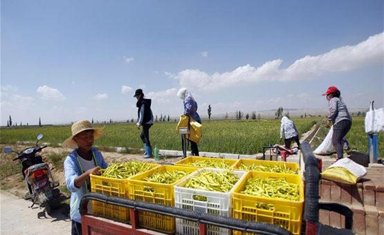 寧夏鹽池:大力發展黃花産業 助力農民實現脫貧