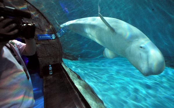 enjoys swiming in its new home at Hangzhou Polar Ocean Park, Hangzhou ...