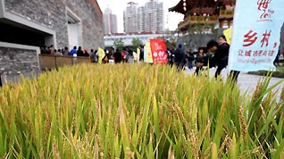 Photo taken on Oct. 25, 2010 shows the ripe rice at the Ningbo Urban Best Practice Areas (UBPA) Case Pavilion in the World Expo Park in east China'a Shanghai Municipality.