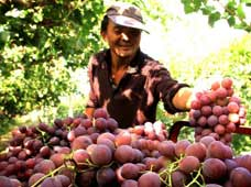 Farmer Zhang Shengbing loads up his truck with grapes in Ganjiabao village of Mogao township in Dunhuang City, northwest China's Gansu Province, Oct. 3, 2014.