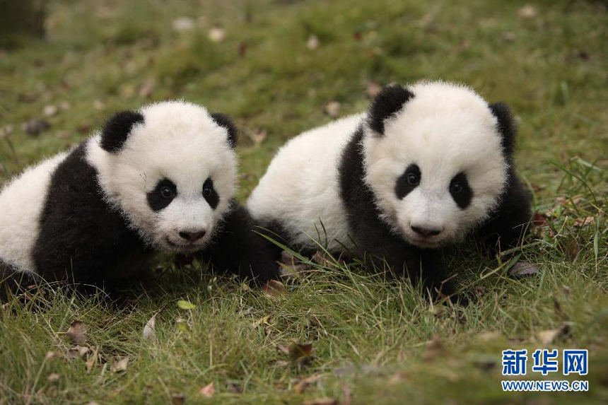 PPanda twins Mao Zhu and Mao Sun pose for a picture at the Chengdu Research Base of Giant Panda Breeding on Nov. 20, 2014. The panda twin brother and sister got their new names collected from a public poll. [Photo/Xinhua]