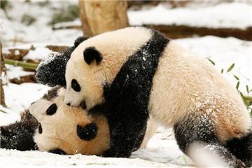 Panda Mei Xiang plays with daughter