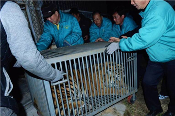 Illegally-kept tigers saved in Shandong