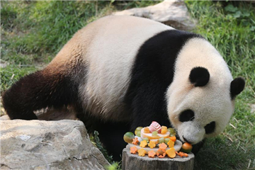 Panda Xinxin celebrates birthday in Macao