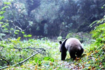 2 captive-bred pandas back in nature
