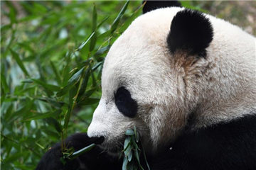 US-born panda bound for China on special flight