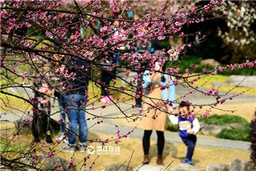 Plum blossoms bloom in Hangzhou