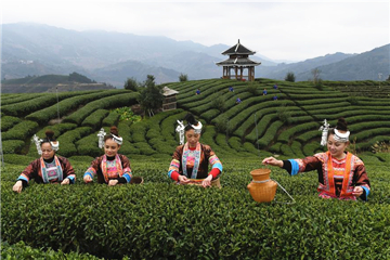 Villagers busy harvesting in tea plantation