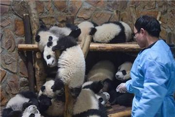 Job of a panda caretaker : Fun and hard
