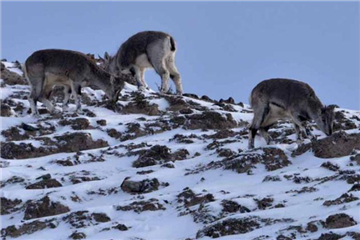 Endangered sheep found on snowy mountain