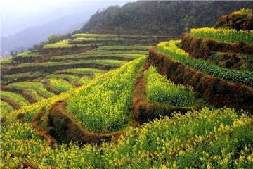 Rape flowers in full bloom in China's Jiangxi