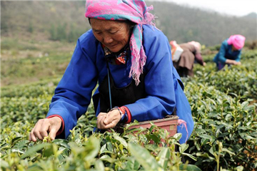 Harvest season for spring tea in SW China