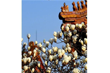 Magnolia flowers signal spring at Forbidden City