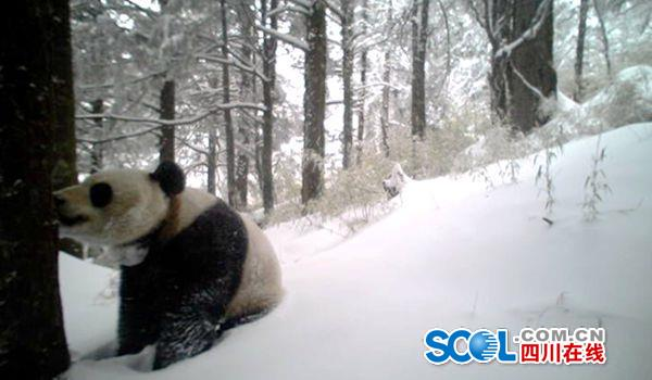A picture of a panda is taken at the Yele Nature Reserve in Liangshan Yi Autonomous Prefecture in late February. [Photo/scol.com.cn]