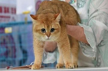 Cat show held in NE China's Shenyang