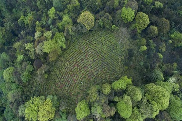 Tea gardens among forests of Mt. Emei