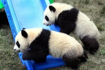 Giant panda cubs named 'Ban Ban', 'Yue Yue'
