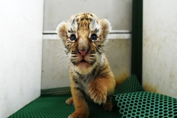 Over 50 tiger cubs born in NE China in April