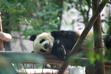 China to send two giant pandas to Denmark