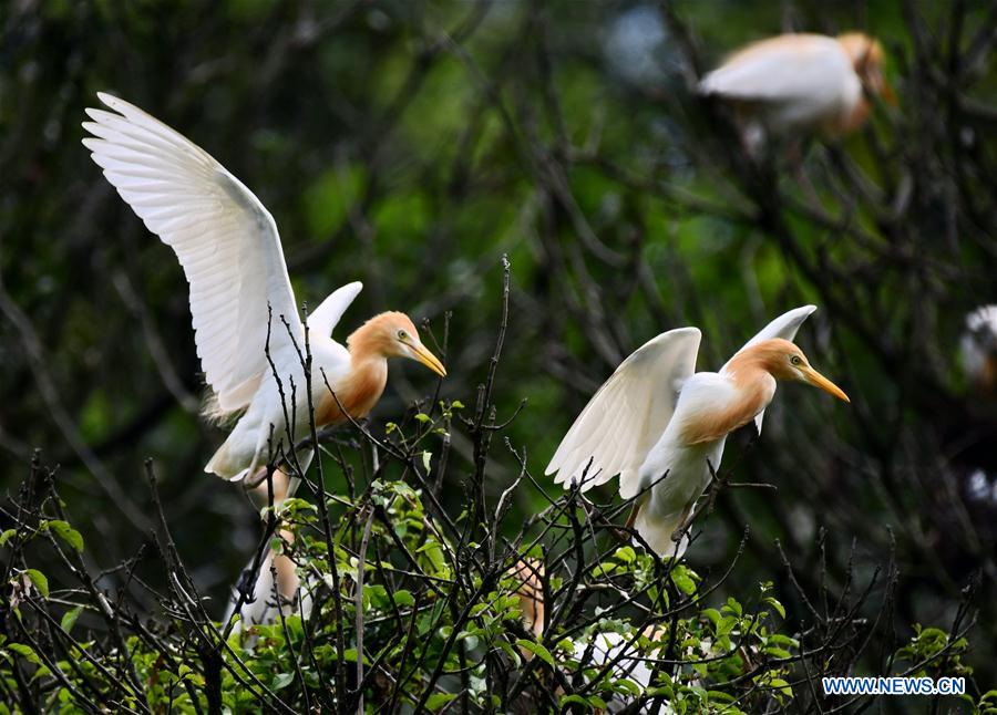 Egrets rest on branches in Mingxi County in SW China's Fujian