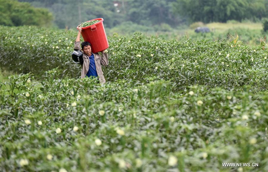 Hainan introduces planting of okra to promote poverty alleviation