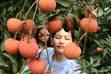 Farmers start to harvest litchi in Guangxi