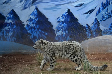 Snow leopard cub seen in wildlife zoo