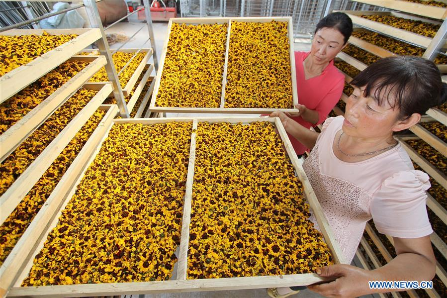 CHINA-HEBEI-ECONOMY-CHRYSANTHEMUM (CN)