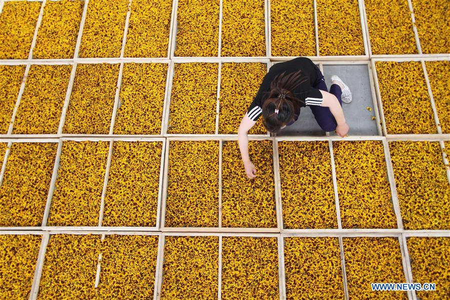 Chrysanthemum lifts villagers out of poverty in north China
