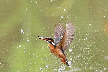 Kingfisher catches fish in SE China's Fuzhou