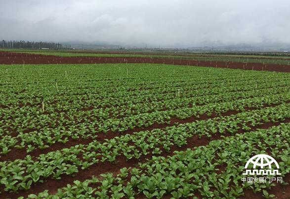 红河沪西县蔬菜规模种植(向春玲供图)