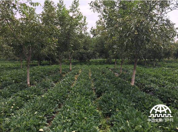 玉溪峨县富良棚乡开发的林下经济