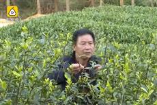 【镜头中的脱贫故事】清明茶价格上涨成村民'招财树'