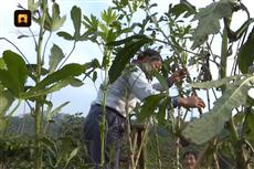 【镜头中的脱贫故事】浙江农业之最 单株秋葵结果618个