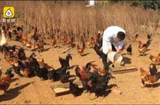 【镜头中的脱贫故事】大学生养无抗生素土鸡 年盈利达80万