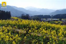 【镜头中的脱贫故事】油菜花蝶变 带动梦里水乡致富