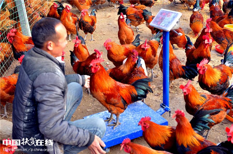 贫困户利用小额信贷养土鸡脱贫致富