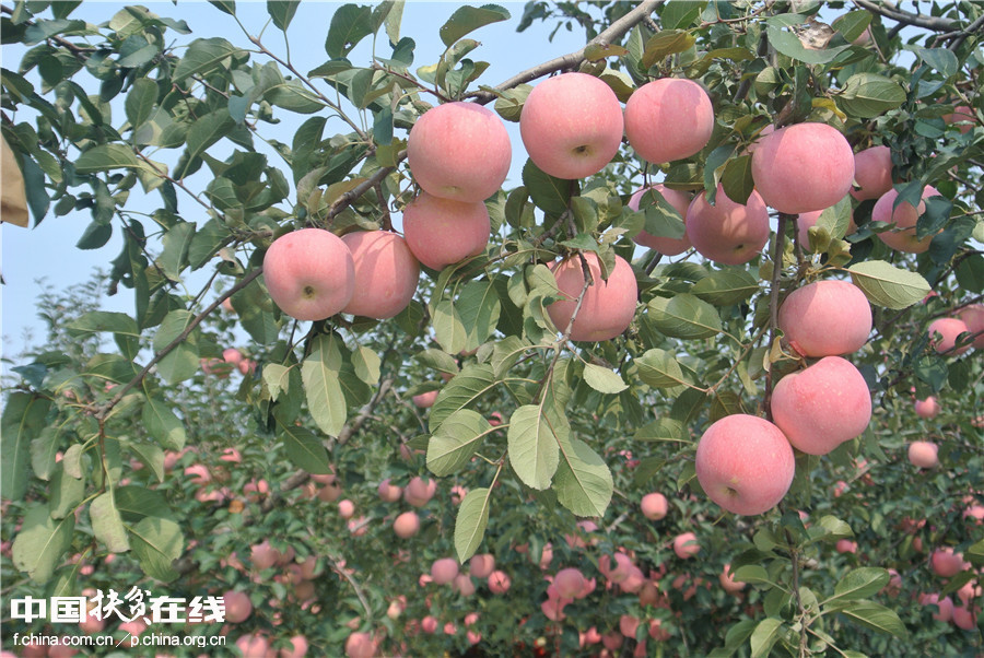 【镜头中的脱贫故事】苹果销售模式改变果农生活