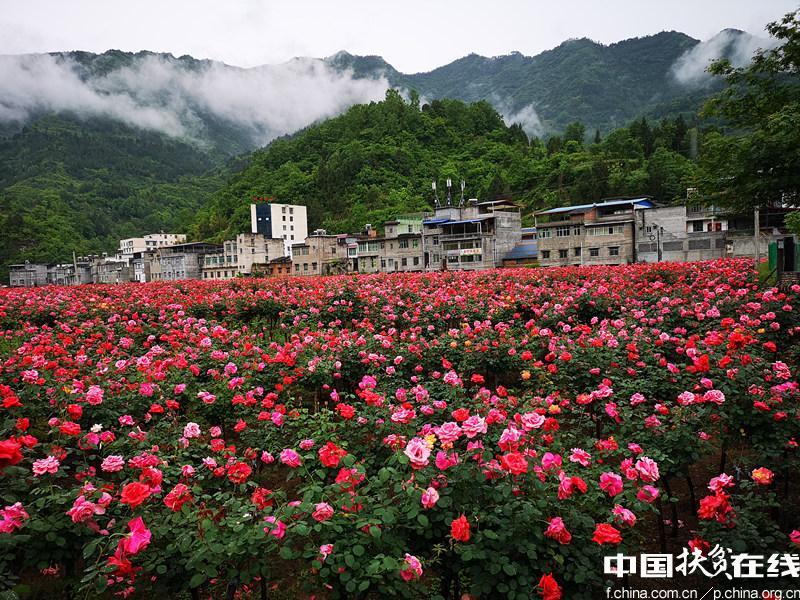 四川南江县团结乡玫瑰花海 生态宜居美好家园